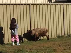 Jimelle got mighty close - mother warned lamb and off they went